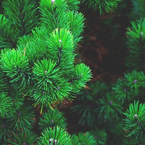 8-1 Najlepsze cechy drzew i krzewów iglastych florens opole