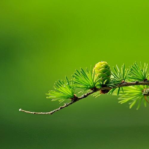 Rośliny iglaste o wszechstronnym zastosowaniu florens opole