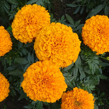 9-2 rośliny jednoroczne florens opole