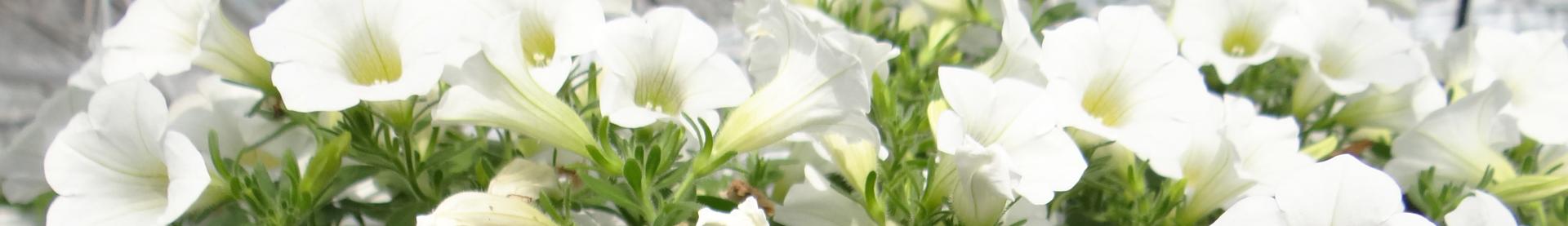 9 rośliny zimowe i wczesno wiosenne florens opole