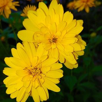11 rośliny wieloletnie florens opole