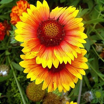 7 rośliny wieloletnie florens opole