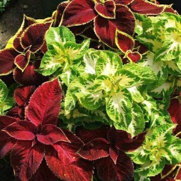 IMG_20190607_144403-360x360 rośliny jednoroczne florens opole