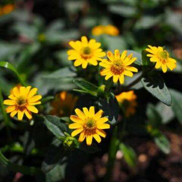 IMG_20190616_135127-360x360 rośliny jednoroczne florens opole