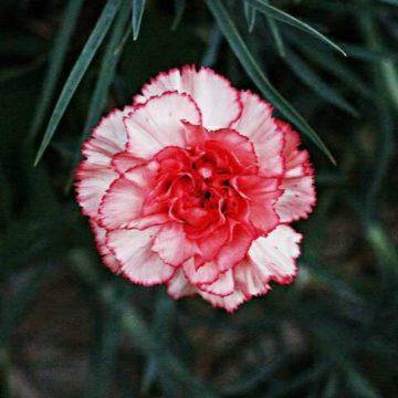 IMG_20190616_140117-e1561048869784 rośliny jednoroczne florens opole
