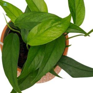 Roślina domowa zwisajaca epipremnum