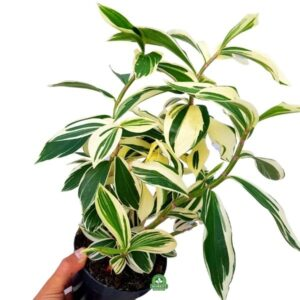 kolekcjonerska roślina domowa