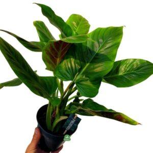 Tanie rośliny kolekcjonerskie