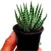 ALOES BIAŁY KOLCZASTY Aloe humilis x pratensis