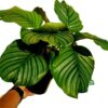 Calathea orbifolia Kalatea okrągłolistna